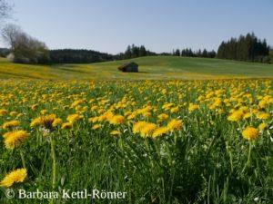 Löwenzahnblüte im Allgäu